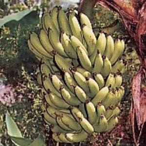 pisang badak